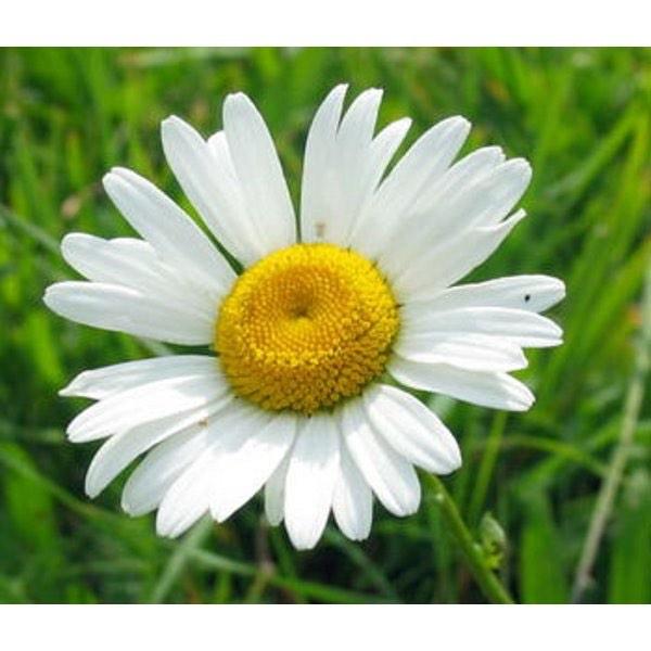 Ромашка (Цветки) 50 г