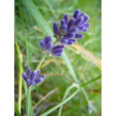 Лаванда цветки и трава, 50 гр.